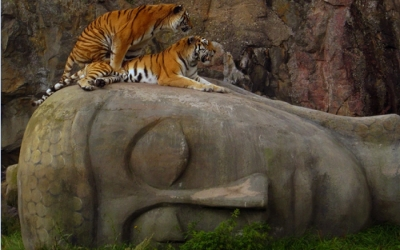 Tiger on Buddhas head